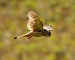 Kestrel photographed at Pleinmont [PLE] on 18/7/2012. Photo: © Dave Solway