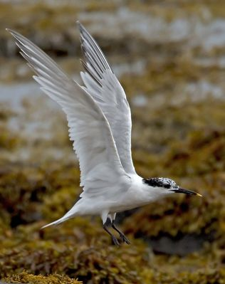 Sandwich Tern photographed at Grandes Havres [GHA] on 20/7/2012. Photo: © Mike Cunningham