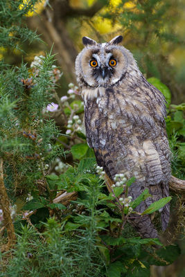 Long-eared Owl photographed at Reservoir [RES] on 22/7/2012. Photo: © steve levrier