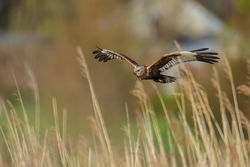 Marsh Harrier photographed at Claire Mare [CLA] on 26/4/2012. Photo: © steve levrier