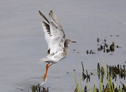 Redshank photographed at Claire Mare [CLA] on 1/8/2012. Photo: © Royston Carr�