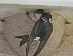 House Martin photographed at Lande du Marche on 1/8/2012. Photo: © Royston Carr�