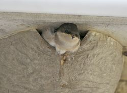 House Martin photographed at Landes du Marche [LAM] on 1/8/2012. Photo: © Royston Carr�
