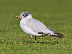 Mediterranean Gull photographed at Mare de Carteret [MDC] on 5/8/2012. Photo: © Barry Wells