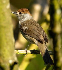 Blackcap photographed at St Peter Port [SPP] on 8/8/2012. Photo: © Mike Cunningham