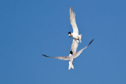Sandwich Tern photographed at Fort Doyle [DOY] on 9/8/2012. Photo: © Rod Ferbrache