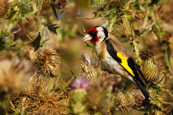 Goldfinch photographed at Pulias [PUL] on 11/8/2012. Photo: © Rod Ferbrache