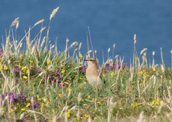 Wheatear photographed at Pleinmont [PLE] on 11/8/2012. Photo: © Mark Guppy