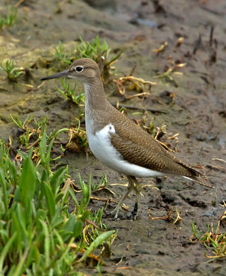 Common Sandpiper photographed at Vale Pond [VAL] on 14/8/2012. Photo: © Mike Cunningham