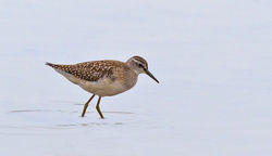 Wood Sandpiper photographed at Claire Mare [CLA] on 18/8/2012. Photo: © Anthony Loaring