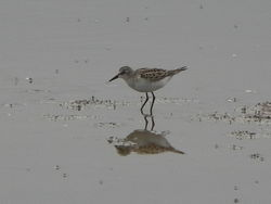 Little Stint photographed at Claire Mare [CLA] on 19/8/2012. Photo: © Tony Bisson