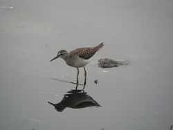 Wood Sandpiper photographed at Claire Mare [CLA] on 19/8/2012. Photo: © Tony Bisson