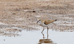 Little Stint photographed at Claire Mare [CLA] on 19/8/2012. Photo: © Anthony Loaring