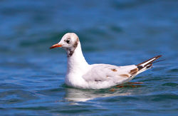 Black-headed Gull photographed at Cobo [COB] on 4/8/2012. Photo: © Anthony Loaring
