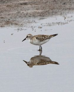 Little Stint photographed at Claire Mare [CLA] on 19/8/2012. Photo: © Cindy  Carre