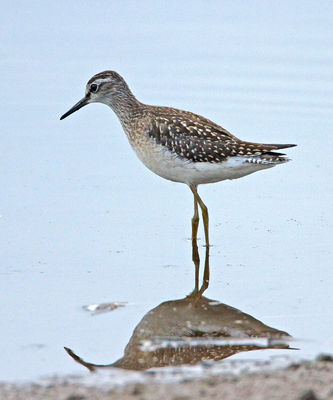 Wood Sandpiper photographed at Claire Mare [CLA] on 20/8/2012. Photo: © Mike Cunningham