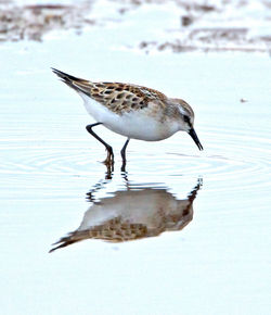 Little Stint photographed at Claire Mare [CLA] on 20/8/2012. Photo: © Mike Cunningham