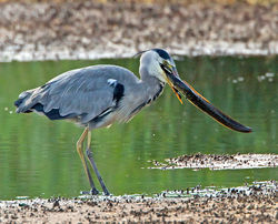 Grey Heron photographed at Claire Mare [CLA] on 20/8/2012. Photo: © Mike Cunningham