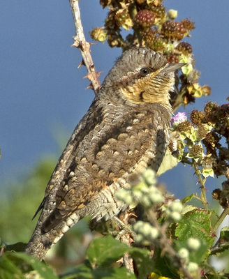 Wryneck photographed at Lihou Headland [LCH] on 22/8/2012. Photo: © Mike Cunningham