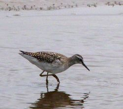 Wood Sandpiper photographed at Claire Mare [CLA] on 25/8/2012. Photo: © Mark Guppy