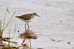 Wood Sandpiper photographed at Claire Mare [CLA] on 25/8/2012. Photo: © Rod Ferbrache