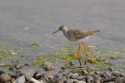 Redshank photographed at Pulias [PUL] on 26/8/2012. Photo: © Rod Ferbrache