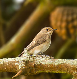 Spotted Flycatcher photographed at St Saviour's [SSV] on 26/8/2012. Photo: © Anthony Loaring