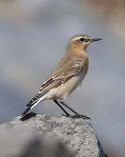 Wheatear photographed at Pulias [PUL] on 26/8/2012. Photo: © Cindy  Carre
