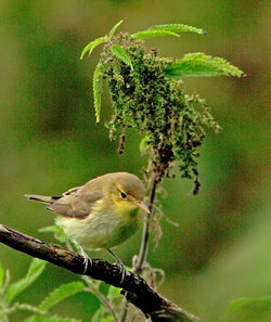 Melodious Warbler photographed at Shingle Bank on 28/8/2012. Photo: © Mike Cunningham