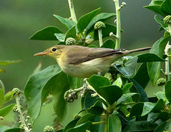 Melodious Warbler photographed at Shingle Bank [SHI] on 28/8/2012. Photo: © Mike Cunningham