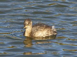 Little Grebe photographed at Vale Pond [VAL] on 30/8/2012. Photo: © Royston Carr�