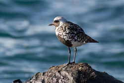 Grey Plover photographed at Fort Doyle [DOY] on 31/8/2012. Photo: © Rod Ferbrache