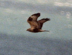 Rough-legged Buzzard photographed at Herm [HER] on 20/2/1999. Photo: © Wayne Turner