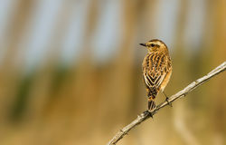Whinchat photographed at Scramble Track [SCR] on 1/9/2012. Photo: © Anthony Loaring