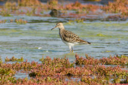 Pectoral Sandpiper photographed at Colin Best NR [CNR] on 3/9/2012. Photo: © Rod Ferbrache