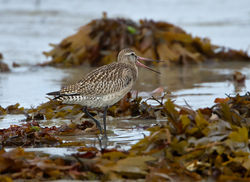 Bar-tailed Godwit photographed at L'Eree [LER] on 3/9/2012. Photo: © Mike Cunningham