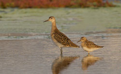Pectoral Sandpiper photographed at Colin Best NR [CNR] on 3/9/2012. Photo: © Anthony Loaring