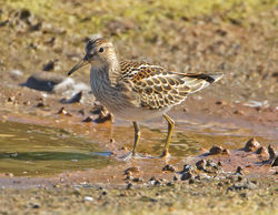 Pectoral Sandpiper photographed at Claire Mare [CLA] on 5/9/2012. Photo: © Mike Cunningham