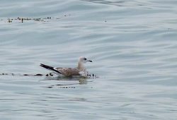 Common Gull photographed at Vazon [VAZ] on 4/9/2012. Photo: © Mark Lawlor