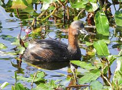 Little Grebe photographed at Reservoir [RES] on 6/9/2012. Photo: © Royston Carr�