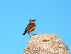 Whinchat photographed at Fort Hommet [HOM] on 7/9/2012. Photo: © Mark Guppy