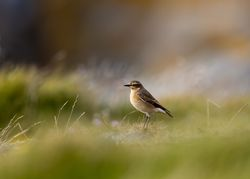 Wheatear photographed at Fort Doyle [DOY] on 16/9/2012. Photo: © Allan Phillips