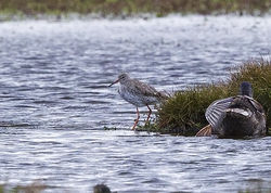 Redshank photographed at Select location on 24/9/2012. Photo: © Anthony Loaring