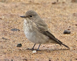 Spotted Flycatcher photographed at Claire Mare [CLA] on 24/9/2012. Photo: © Mike Cunningham