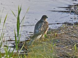 Sparrowhawk photographed at Claire Mare [CLA] on 25/9/2012. Photo: © Royston Carr�