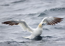 Gannet photographed at Pelagic [PEL] on 16/9/2012. Photo: © David Spicer