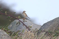 Richard's Pipit photographed at Fort Doyle on 30/9/2012. Photo: © Chris Bale