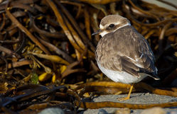 Ringed Plover photographed at L'Eree [LER] on 29/9/2012. Photo: © steve levrier