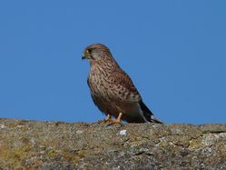 Kestrel photographed at Rousse [ROU] on 3/10/2012. Photo: © Tracey Henry
