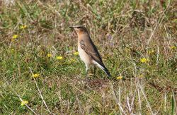 Wheatear photographed at Pulias [PUL] on 28/9/2012. Photo: © Tracey Henry